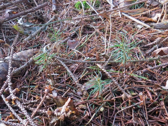 """The treeflow spruce seedlings from the preeflow advertising campaign have meanwhile been """"released""""."""