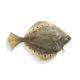fresh plaice fish / frozen / headed / raw