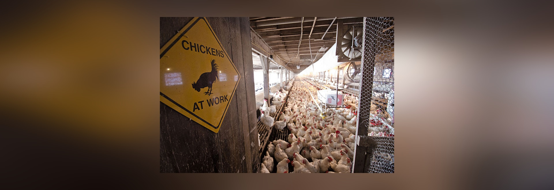 The chickens are kept in an air-chilled environment.