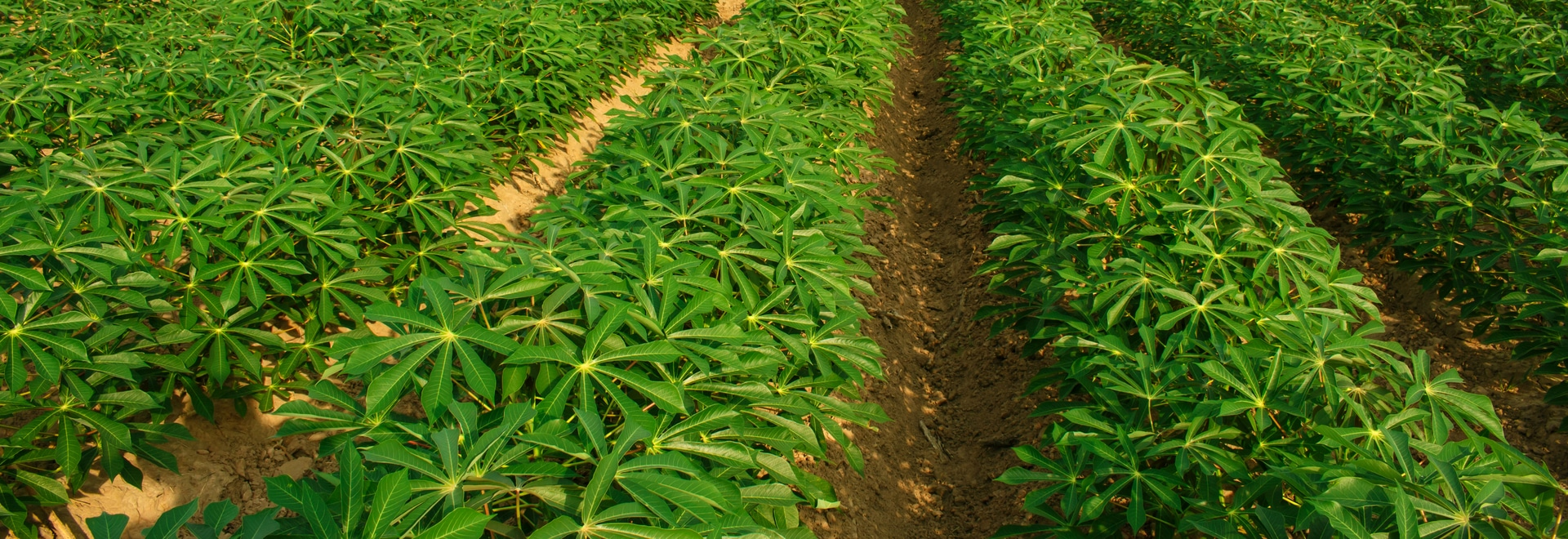 Rapid Analysis of Dry Matter Content and Other Quality Traits in Cassava using the ASD QualitySpec® Trek
